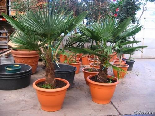 Chinesische Hanfpalme Trachycarpus Fortunei Pflanzen Enzyklopadie