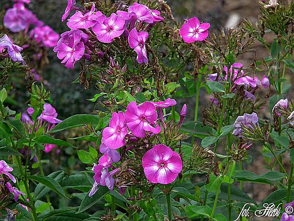 Hoher Stauden-Phlox Lilac Flame