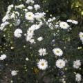 Raublatt-Aster Herbstschnee