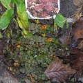 Kupferbraunes Stachelnüsschen Kupferteppich