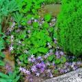 Polsterglockenblume Lisduggan
