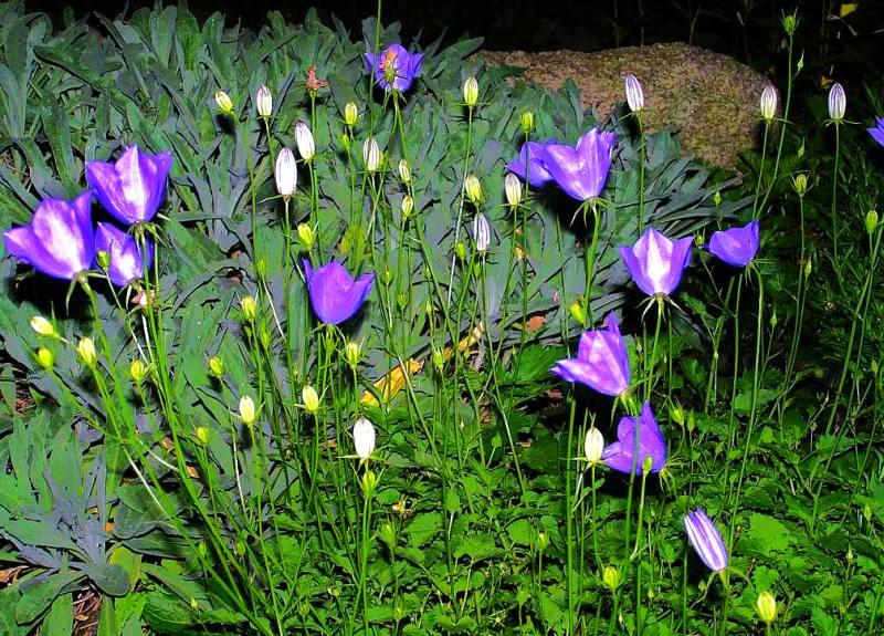 Karpaten-Glockenblume