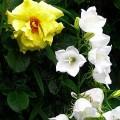 Pfirsichblättrige Glockenblume Alba