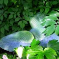 Blaublatt-Funkie Elegans