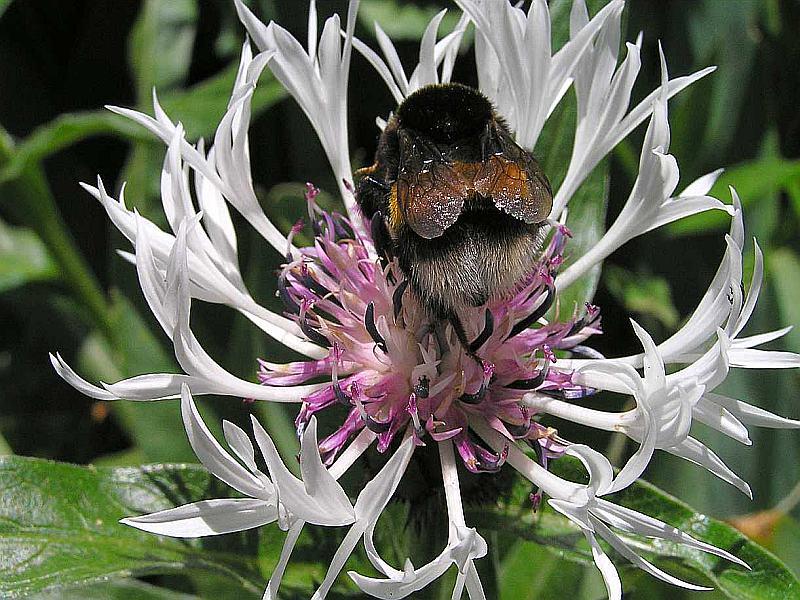 Berg-Flockenblume Alba