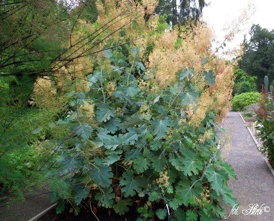 Tuin aanleggen  blog archive  macleaya cordata spechley ruby