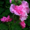 Gefüllte Stockrose Chaters rosa