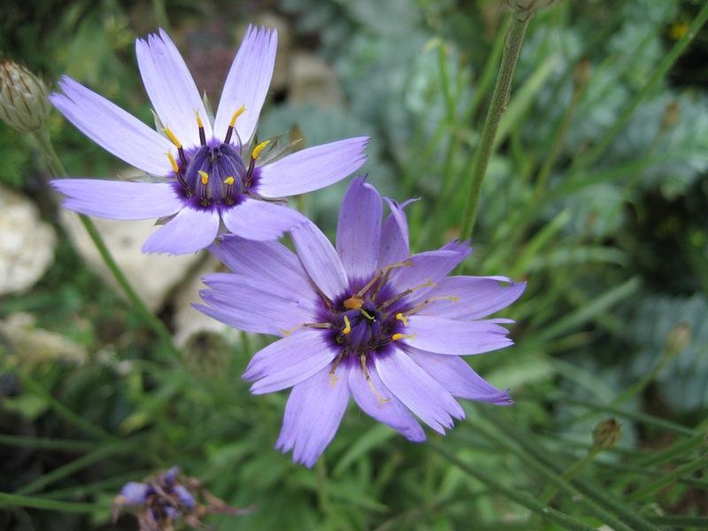 Blaue Rasselblume