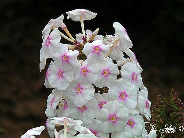 Weißer Wiesen-Phlox Omega