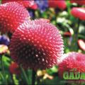 Pompon-Gänseblümchen