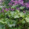 Dalmatinische Glockenblume Birch Hybrid