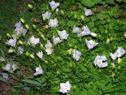 karpaten glockenblume campanula carpatica alba 39 pflanzen enzyklop die. Black Bedroom Furniture Sets. Home Design Ideas