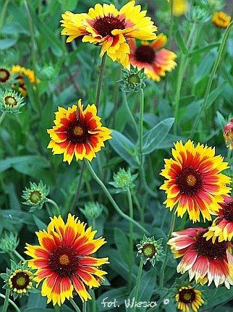 Garten-Kokardenblume