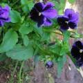 Hornveilchen Bowles Black