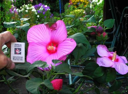 sumpfeibisch hibiscus moscheutos pflanzen enzyklop die. Black Bedroom Furniture Sets. Home Design Ideas