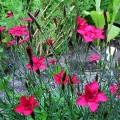 Heide-Nelke Splendens