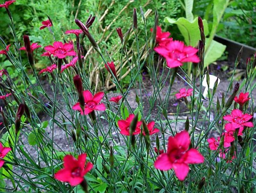 heide nelke dianthus deltoides 39 splendens 39 pflanzen enzyklop die. Black Bedroom Furniture Sets. Home Design Ideas