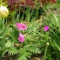 Gartengloxinie