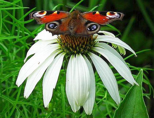 Weißer Sonnenhut Alba