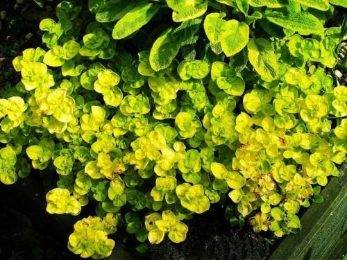 oregano origanum vulgare 39 aureum 39 pflanzen enzyklop die. Black Bedroom Furniture Sets. Home Design Ideas