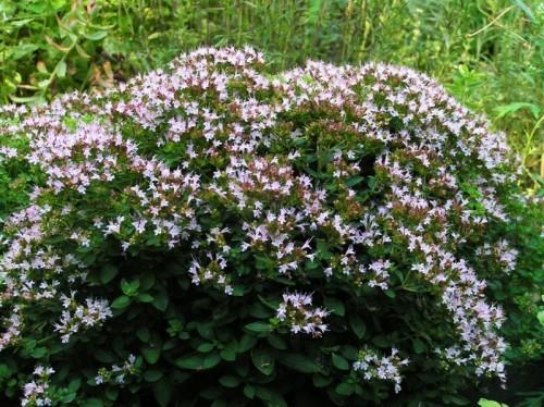 oregano origanum vulgare 39 diabolo 39 pflanzen enzyklop die. Black Bedroom Furniture Sets. Home Design Ideas