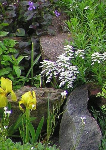 zwerg schwertlilie iris pumila pflanzen enzyklop die. Black Bedroom Furniture Sets. Home Design Ideas