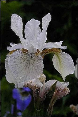 sibirische schwertlilie iris sibirica alba 39 pflanzen enzyklop die. Black Bedroom Furniture Sets. Home Design Ideas