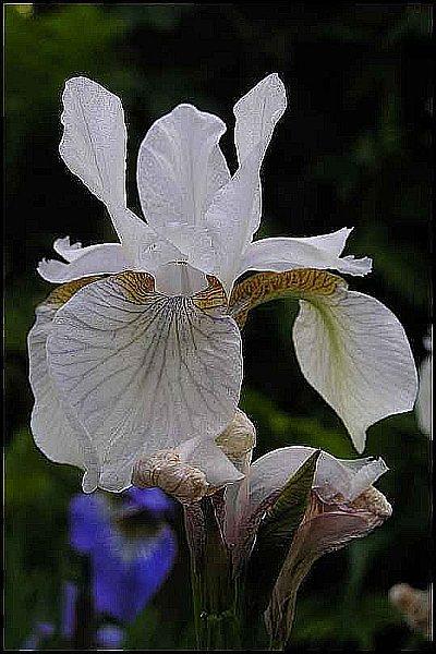 Sibirische Schwertlilie Alba