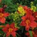 Garten-Taglilie