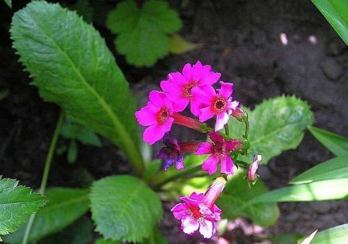 Japanische etagen primel primula japonica pflanzen enzyklop die - Japanische zimmerpflanzen ...