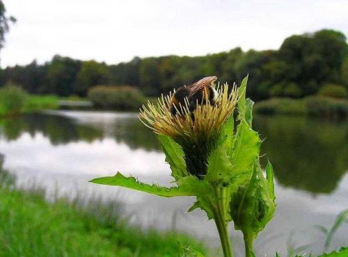 Kohl kratzdistel cirsium oleraceum pflanzen enzyklop die for Kleine fliegen zimmerpflanzen