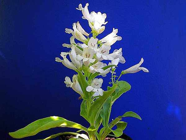 Bartfaden White
