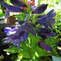 Bartfaden Blue