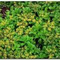 Gelbe Bodendecker-Fetthenne