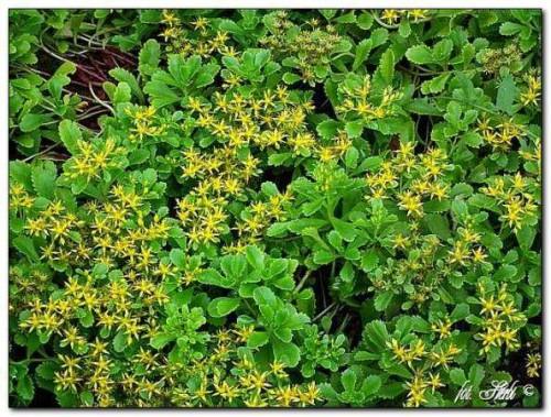 gelbe bodendecker fetthenne sedum kamtschaticum var floriferum pflanzen enzyklop die. Black Bedroom Furniture Sets. Home Design Ideas