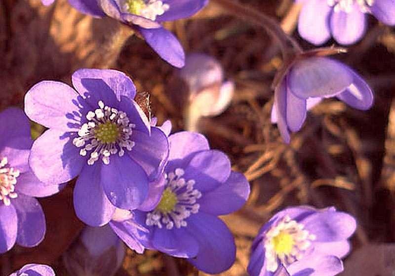 Leberblümchen Ballardii