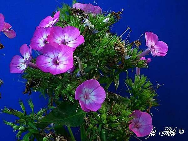 Hoher Stauden-Phlox Purple Eye Flame