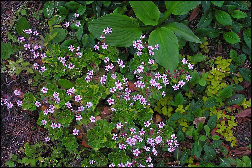 Porzellanblümchen Aureo-punctata