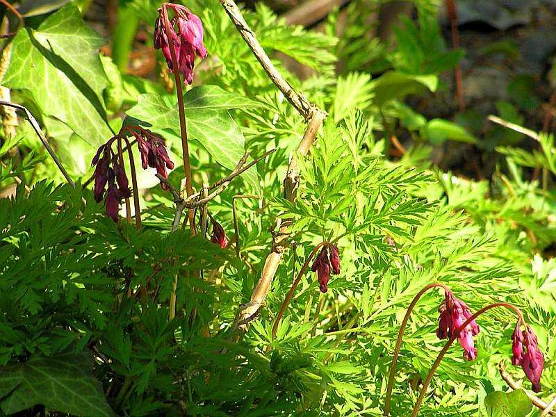 Zwerg-Herzblume