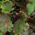 Herbst-Steinbrech Rubrifolia