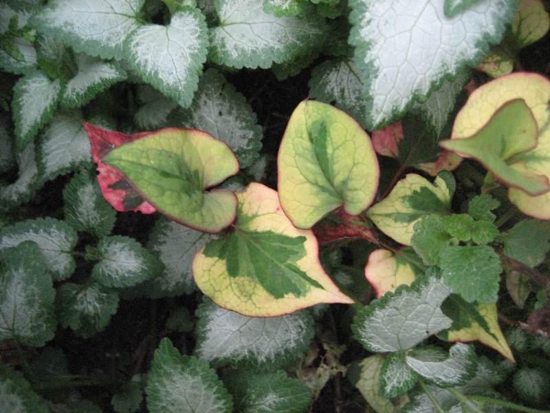Chamäleon-Pflanze