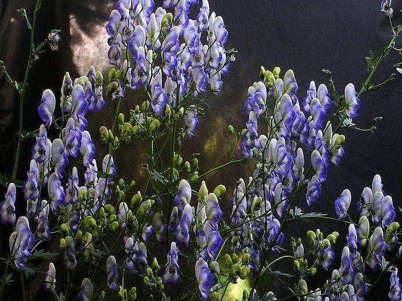 Garten-Eisenhut Bicolor
