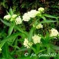 Garten-Seidenpflanze Ice Ballet