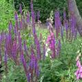 Garten-Salbei Ostfriesland