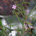 Kleinblütiges Weidenröschen