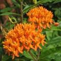 Knollige Seidenpflanze