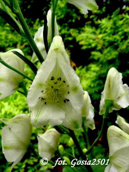 Weißblühender Eisenhut Albus