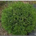 Kleinblättriger Buchsbaum Green Gem