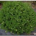 Kleinblättriger Buchsbaum Green Pillow