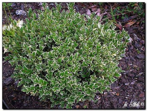 gewöhnlicher buchsbaum (buxus sempervirens) 'elegans' | pflanzen, Garten Ideen